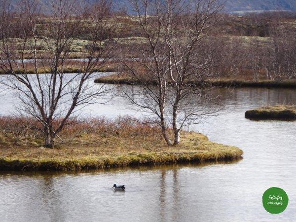 Lago Thingvallavatn - Círculo Dorado Círculo Dorado  - Círculo Dorado de Islandia langistigur