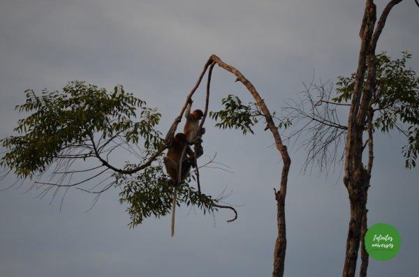Monos narigudos en Tanjung Puting